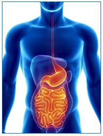 Diagram of Human Organs
